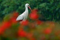 Άσπρος πελαργός, ciconia Ciconia, στη λίμνη την άνοιξη Πελαργός στο κόκκινο λουλούδι άνθισης Άσπρος πελαργός στο βιότοπο φύσης Σκ Στοκ Εικόνα