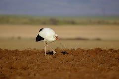 Άσπρος πελαργός (ciconia Ciconia) στοκ εικόνες με δικαίωμα ελεύθερης χρήσης