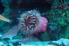 Άσπρος που επισημάνθηκε αυξήθηκε lofotensis Urticina anemone Στοκ φωτογραφίες με δικαίωμα ελεύθερης χρήσης