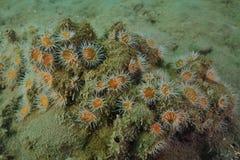 Άσπρος-ριγωτός anemones στο λασπώδες κατώτατο σημείο Στοκ φωτογραφία με δικαίωμα ελεύθερης χρήσης