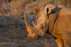 Άσπρος ρινόκερος, επιφύλαξη παιχνιδιού Madikwe στοκ φωτογραφίες με δικαίωμα ελεύθερης χρήσης
