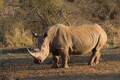 Άσπρος ρινόκερος, επιφύλαξη παιχνιδιού Madikwe στοκ φωτογραφία με δικαίωμα ελεύθερης χρήσης