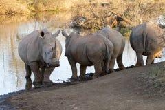 Άσπρος ρινόκερος, επιφύλαξη παιχνιδιού Madikwe στοκ εικόνες με δικαίωμα ελεύθερης χρήσης