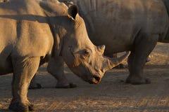 Άσπρος ρινόκερος, επιφύλαξη παιχνιδιού Madikwe στοκ εικόνα