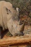 Άσπρος ρινόκερος, επιφύλαξη παιχνιδιού Madikwe στοκ εικόνες