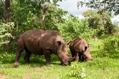 Άσπρος ρινόκερος με τις νεολαίες στοκ εικόνες με δικαίωμα ελεύθερης χρήσης