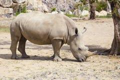 Άσπρος ρινόκερος με τους τραυματισμούς στοκ εικόνες