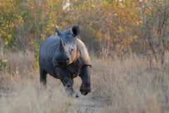 Άσπρος ρινόκερος, πάρκο Kruger, Νότια Αφρική Στοκ εικόνες με δικαίωμα ελεύθερης χρήσης