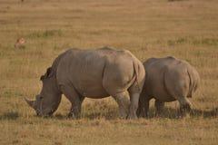 Άσπρος ρινόκερος στην Κένυα Στοκ Εικόνα