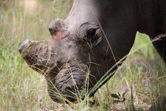 Άσπρος ρινόκερος στη Ζιμπάμπουε, εθνικό πάρκο Hwange στοκ φωτογραφία με δικαίωμα ελεύθερης χρήσης