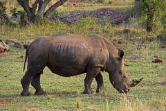 Άσπρος ρινόκερος στη Νότια Αφρική στοκ εικόνα με δικαίωμα ελεύθερης χρήσης