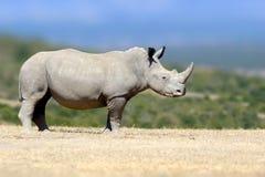Άσπρος ρινόκερος στο βιότοπο φύσης, Κένυα, Αφρική Στοκ Φωτογραφία