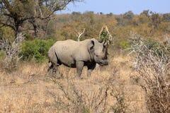 Άσπρος ρινόκερος στο εθνικό πάρκο Kruger, Νότια Αφρική Στοκ εικόνες με δικαίωμα ελεύθερης χρήσης