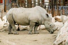 Άσπρος ρινόκερος στο ζωολογικό κήπο Στοκ φωτογραφίες με δικαίωμα ελεύθερης χρήσης