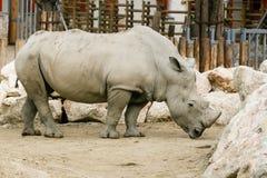 Άσπρος ρινόκερος στο ζωολογικό κήπο Στοκ Εικόνα
