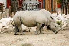 Άσπρος ρινόκερος στο ζωολογικό κήπο Στοκ Φωτογραφίες