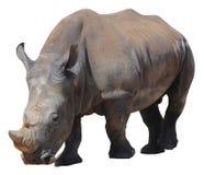 Άσπρος ρινόκερος, τετραγωνικός-χειλικός ρινόκερος που απομονώνεται στο άσπρο υπόβαθρο Στοκ εικόνες με δικαίωμα ελεύθερης χρήσης