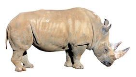 Άσπρος ρινόκερος, τετραγωνικός-χειλικός ρινόκερος που απομονώνεται στο άσπρο υπόβαθρο Στοκ φωτογραφία με δικαίωμα ελεύθερης χρήσης