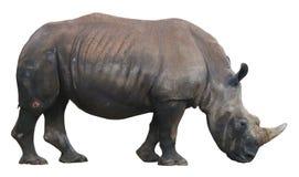 Άσπρος ρινόκερος, τετραγωνικός-χειλικός ρινόκερος που απομονώνεται στο άσπρο υπόβαθρο Στοκ Εικόνα