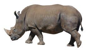 Άσπρος ρινόκερος, τετραγωνικός-χειλικός ρινόκερος που απομονώνεται στο άσπρο υπόβαθρο Στοκ Φωτογραφίες