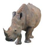Άσπρος ρινόκερος, τετραγωνικός-χειλικός ρινόκερος που απομονώνεται στο άσπρο υπόβαθρο Στοκ Εικόνες