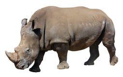 Άσπρος ρινόκερος, τετραγωνικός-χειλικός ρινόκερος που απομονώνεται στο άσπρο υπόβαθρο Στοκ Φωτογραφία