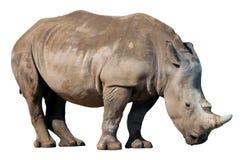 Άσπρος ρινόκερος, τετραγωνικός-χειλικός ρινόκερος που απομονώνεται στο άσπρο υπόβαθρο Στοκ εικόνα με δικαίωμα ελεύθερης χρήσης