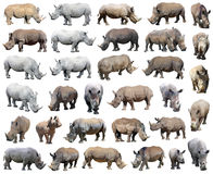 Άσπρος ρινόκερος, τετραγωνικός-χειλικός ρινόκερος που απομονώνεται στο άσπρο υπόβαθρο Στοκ φωτογραφίες με δικαίωμα ελεύθερης χρήσης