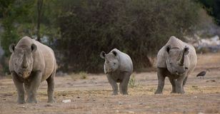 Άσπρος ρινόκερος Στοκ Εικόνες