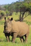 Άσπρος ρινόκερος στοκ φωτογραφία