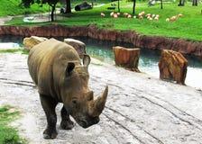 Άσπρος ρινόκερος Στοκ εικόνες με δικαίωμα ελεύθερης χρήσης