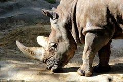 Άσπρος ρινόκερος Στοκ φωτογραφίες με δικαίωμα ελεύθερης χρήσης