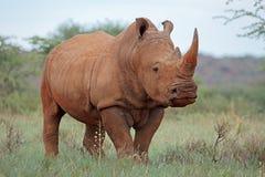Άσπρος ρινόκερος στοκ εικόνα