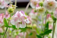 Άσπρος-ρόδινη υβριδική ανάπτυξη aquilegia λουλουδιών στον κήπο Στοκ Φωτογραφία