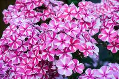Άσπρος-ρόδινο λουλούδι Phlox στοκ εικόνα
