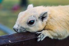 Άσπρος σκίουρος Στοκ Φωτογραφία