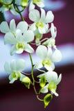 Άσπρος στενός επάνω λουλουδιών ορχιδεών στο φως πρωινού Στοκ Εικόνες