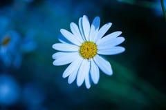 Άσπρος στενός επάνω λουλουδιών στο εξασθενισμένο φως Στοκ Φωτογραφία