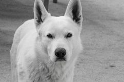 Άσπρος στενός επάνω σκυλιών στοκ φωτογραφίες