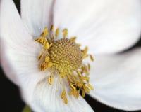 Άσπρος στενός επάνω anemone Στοκ Φωτογραφία