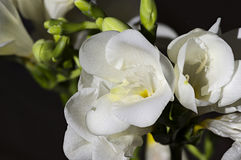 Άσπρος στενός επάνω freesia Στοκ Εικόνες