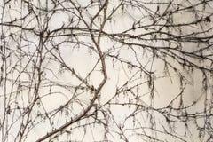 Άσπρος συγκεκριμένος ξεπερασμένος τοίχος που καλύπτεται με το ξηρό αναρριχητικό φυτό Στοκ Εικόνες