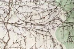 Άσπρος συγκεκριμένος ξεπερασμένος τοίχος που καλύπτεται με το ξηρό αναρριχητικό φυτό Στοκ εικόνα με δικαίωμα ελεύθερης χρήσης