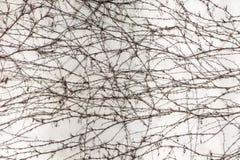 Άσπρος συγκεκριμένος ξεπερασμένος τοίχος που καλύπτεται με το ξηρό αναρριχητικό φυτό Στοκ φωτογραφία με δικαίωμα ελεύθερης χρήσης