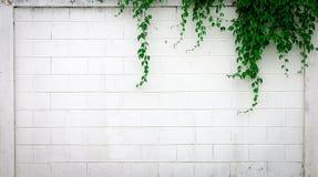 Άσπρος συμπαγής τοίχος με τις εγκαταστάσεις αναρριχητικών φυτών Στοκ Εικόνα