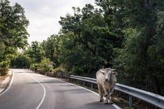 Άσπρος ταύρος στην οδό στοκ εικόνα με δικαίωμα ελεύθερης χρήσης