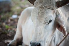 Άσπρος ταύρος στοκ φωτογραφία