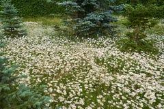 Άσπρος τομέας μαργαριτών Στοκ εικόνα με δικαίωμα ελεύθερης χρήσης