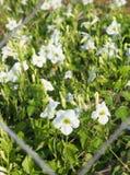 Άσπρος τομέας λουλουδιών Στοκ φωτογραφίες με δικαίωμα ελεύθερης χρήσης