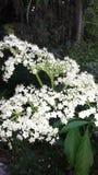 Άσπρος τομέας λουλουδιών Στοκ εικόνες με δικαίωμα ελεύθερης χρήσης